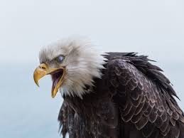 eagles are being killed for black market body parts