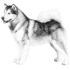 american eskimo dog in india alaskan malamute dog breed information american kennel club
