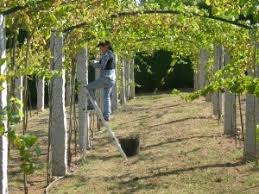 grape vines can be used in the landscape neighborhood nursery
