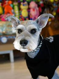 schnauzers hair cuts pin by janet gray on everything photos pinterest miniature