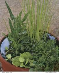 Indoor Container Gardening - make a big splash with a tiny water garden fine gardening