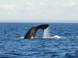 north atlantic right whales died of blunt force trauma