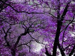 purple tree forests nature background wallpapers on desktop