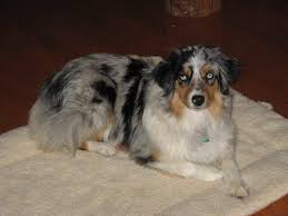 australian shepherd dog puppies utah australian shepherd dog breeder buy a puppy breeders