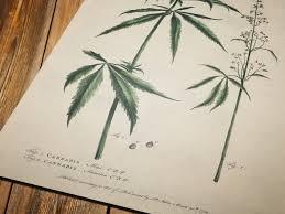 vintage illustration of cannabis framed fine art print