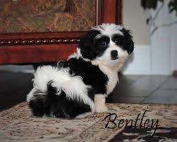 shichons haircut ckc shichon puppies lovable furry friends pinterest dog