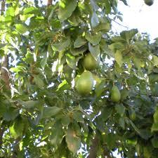 guacamole wars drones dogs fight disease ravaging avocado crop