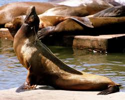 sea lion facts for kids yourkidsplanet com
