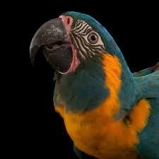 macaws national geographic