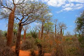 native plants madagascar unusual trees