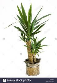 zimmerpflanzen yucca palme in einem topf indoor plants yucca palm