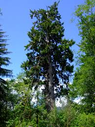 native plants in the tropical rainforest sitka spruce picea sitchensis native plants pnw