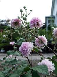 rubus popular shrubs for the garden