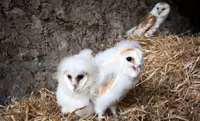 Where Do Barn Owls Live Family Ties Barn Owl Let Their Hungry Siblings Eat First