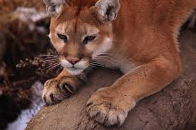 we u0027re not mountain lion about these facts the national wildlife