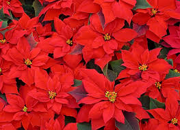 christmas flowers christmas flower