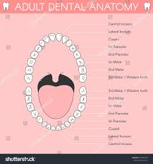 tooth anatomy images gallery learn human anatomy image
