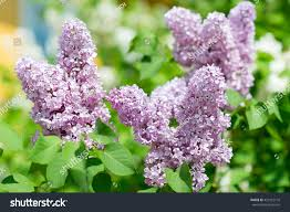 flowers in garden images amazing natural view bright lilac flowers stock photo 429122176
