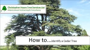 how to identify a cedar tree
