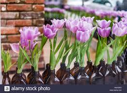 purple tulips in dark glass bottles window store decoration