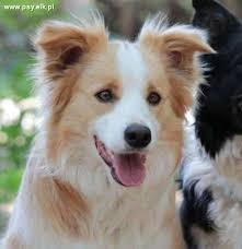australian shepherd your purebred puppy border collie purebred puppies in color australian red