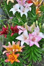 best 25 lily garden ideas on pinterest lilies flowers flower