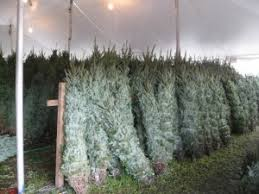 best selection of fresh cut christmas trees in orlando fl