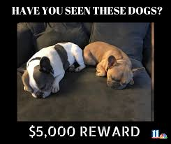 French Bulldog Meme - 11alive please share these french bulldogs were stolen facebook
