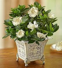 gardenia flower grand gardenia flower arrangement by 1 800 flowers
