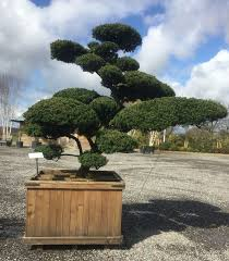 Topiary Cloud Trees - 23 best topiary u0026 niwaki images on pinterest topiaries bonsai