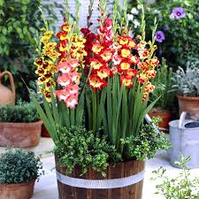 gladiolus flower buy reward 10 gladiolus flower bulbs mix color seeds