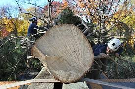 boston s tree to arrive at boston common on tuesday from