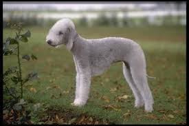 bedlington terrier san antonio wire fox terrier dogs for adoption in usa