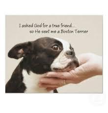 Boston Terrier Meme - 25 best memes about boston terrier boston terrier memes