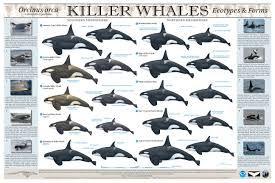 why are there so many different types of killer whales
