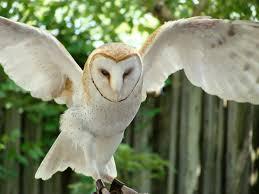 Barn Owl Photography Barn Owl With Wings Spread By Shadowkorin Photos On Deviantart
