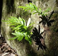 buy ornamental plants common polypody rock polypody ferns