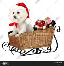 bichon frise funny a bichon frise christmas stock photo u0026 stock images bigstock