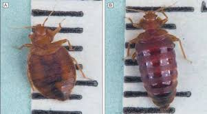 How Often Do Bed Bugs Reproduce Bed Bugs Pictures Actual Size Stages And Skin Bites