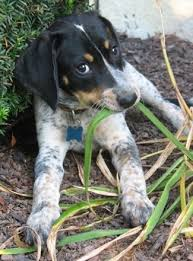 bluetick coonhound with cats bluetick coonhound dog breed pictures 1