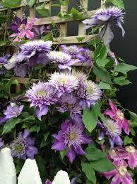 purple clematis against a trellis u2013 morlin o u0027brien u2013 foxrock
