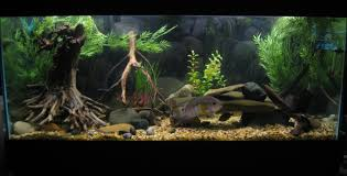 blue acara cichlid sa ca 75 gallon cichlid aquariums