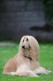 afghan hound group dog breeds afghan hound dog temperament and personality dogalize
