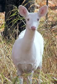 Minnesota wild animals images Albino deer at mille lacs lake minnesota by barefootboy photo jpg