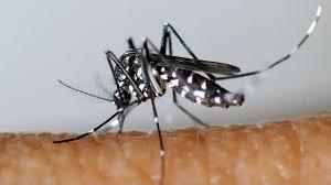 moustique dans ma chambre moustique tigre faut il avoir peur du virus zika l express