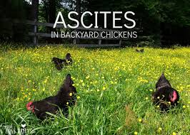 water belly or ascites in backyard chicken flocks fresh eggs daily