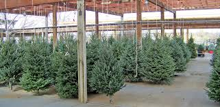 christmas charlie brown christmas trees for sale theyre not such