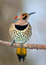 northern flicker birds pinterest bird feathers and