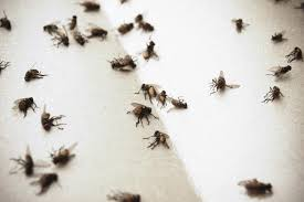 Tiny Flies In Kitchen And Bathroom 5 Steps For Indoor House Fly Control