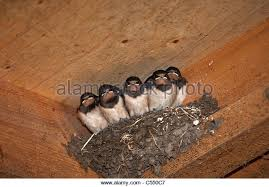 Barn Swallow Nest Pictures Barn Swallows Stock Photos U0026 Barn Swallows Stock Images Alamy